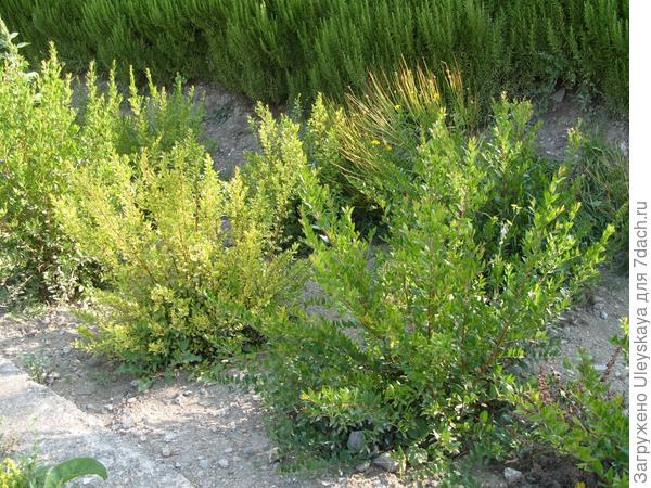 Мирт введен в культуру Никитским ботаническим садом