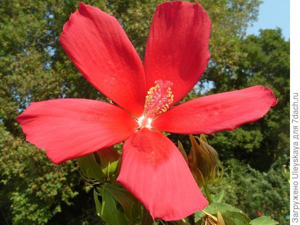 Алые цветки - от гибискуса ярко-красного
