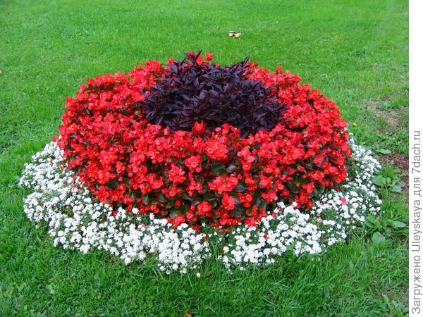 Мини-цветник с цинерарией приморской и бегонией вечноцветущей