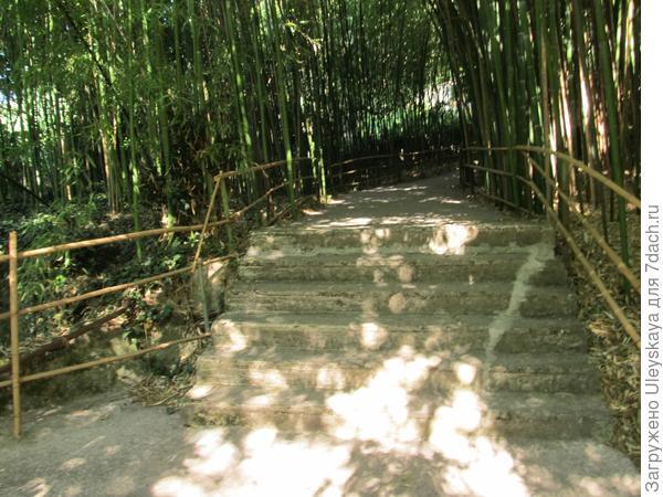 В роще бамбука листоколосника сизо-зелёного
