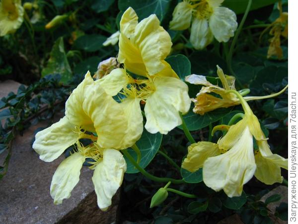 Настурция - цветок-овощ.