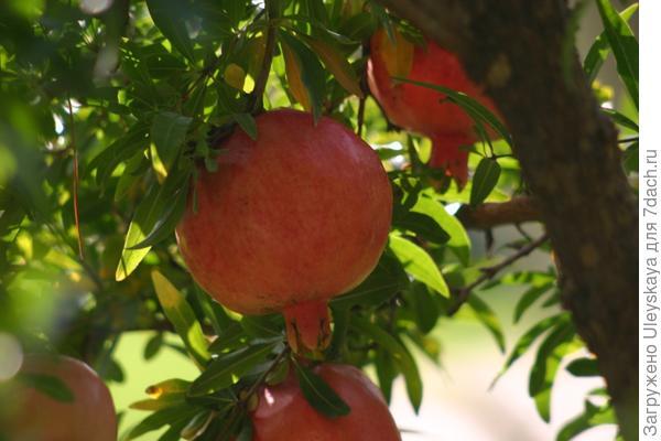 Целебные плоды граната.