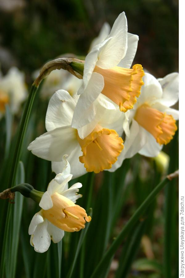 Нарцисс сорт 'Salome'.