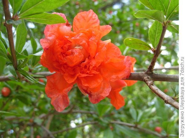 Гранат обыкновенный 'Pleniflora'.