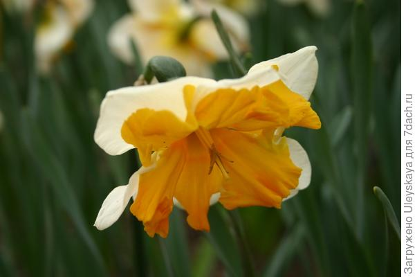 Нарцисс сорт 'Orangery'.