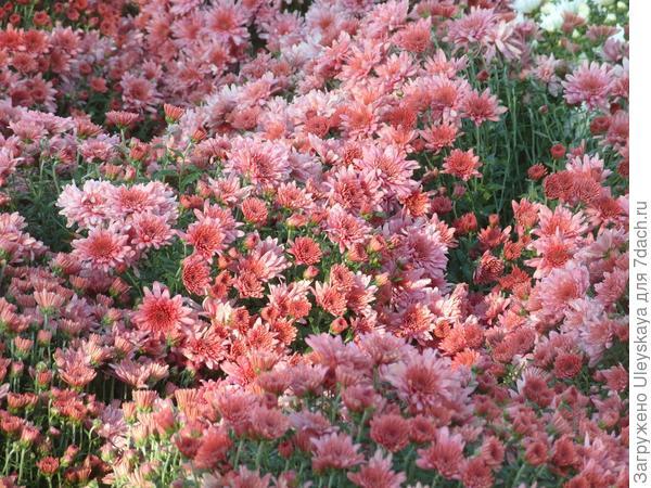 'Bigli Pink'