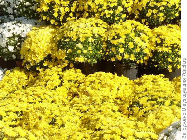 'Domeniko Yellow'