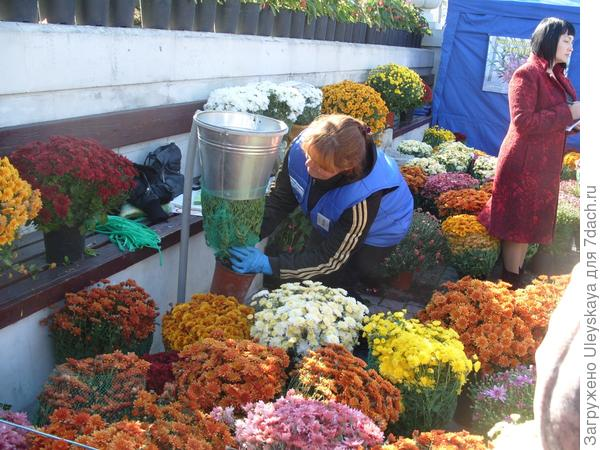 Бал хризантем в Севастополе