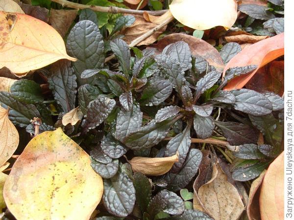 Живучка ползучая в осенних листьях хурмы