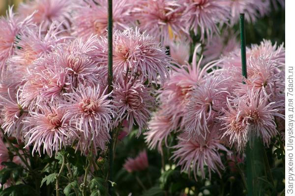 Rayonnante Pink