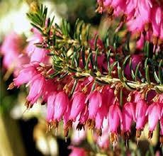 Эрика травяная сорт Vivellii