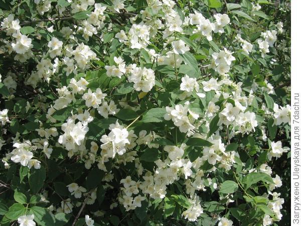 Чубушник в цветении