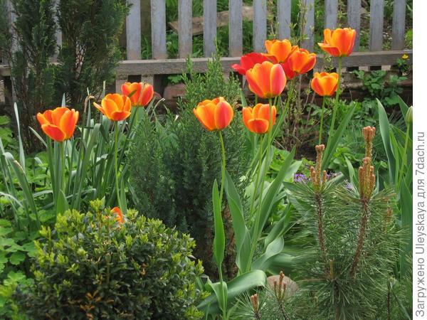Тюльпаны среди хвойных растений