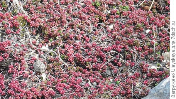 Очиток белый сорт Coral Carpet