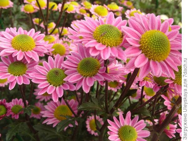 Мелкоцветковая хризантема сорт Lora Pink