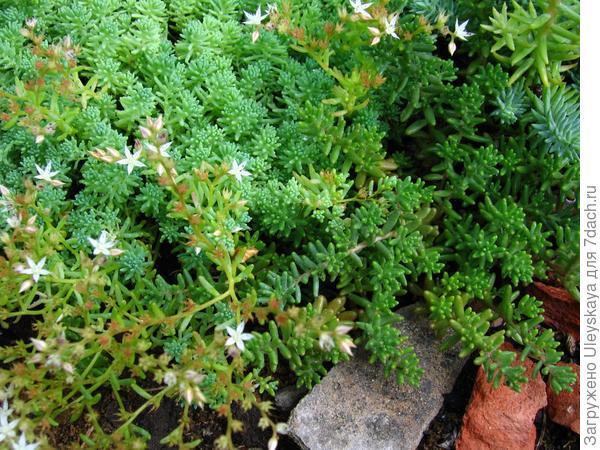 У мелких камней высаживаем почвопокровные растения, например, очитки