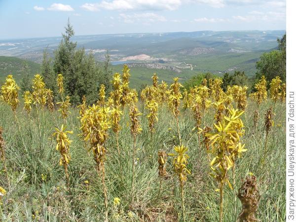 Цветет асфоделина желтая