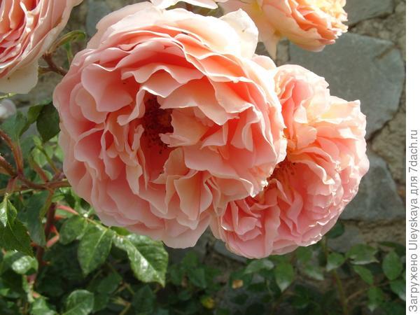 Романтическая роза Abraham Darby