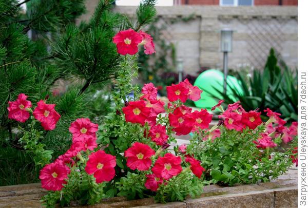 Петуния садовая