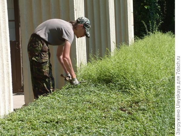 Стрижка живой изгороди из бирючины Делавея