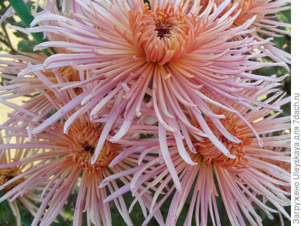 Хризантема сорт Enzett Dilana Rosa
