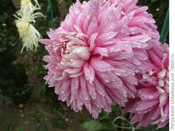 Сорт Pandion Pink