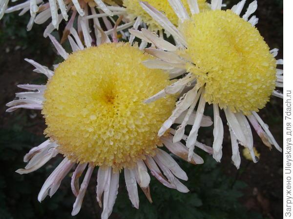 Сорт Рандеву с анемовидным соцветием