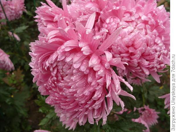 Сорт Лазурь с шаровидным соцветием