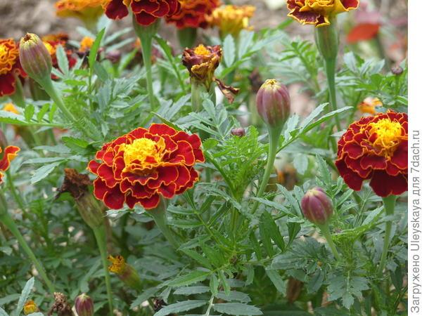 Еще цветут бархатцы
