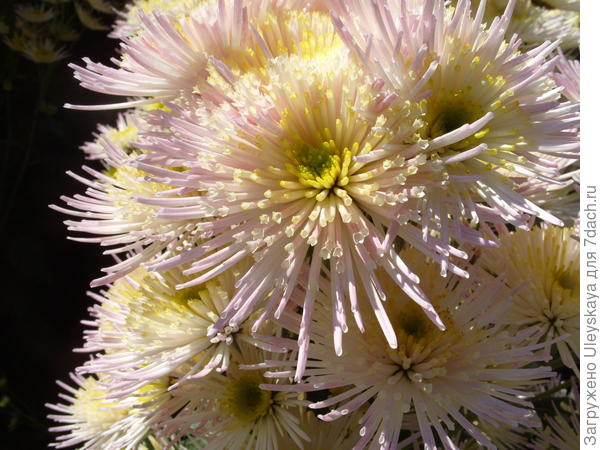 Хризантема сорт Annecy White