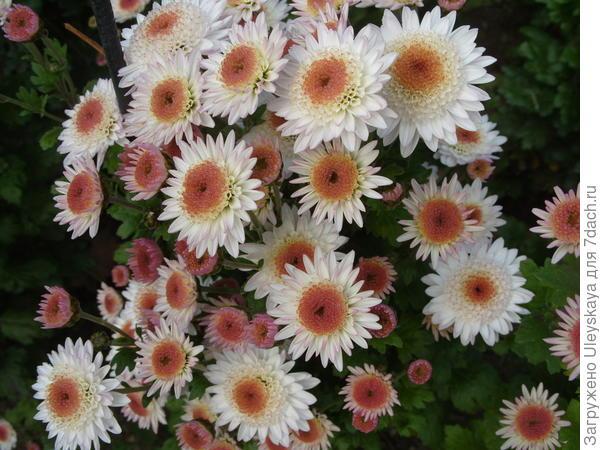 Хризантема сорт Медея