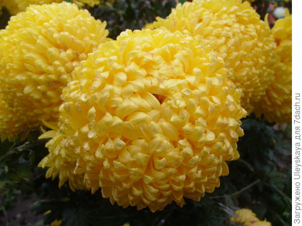 Цветет хризантема сорт Creamiest Yellow
