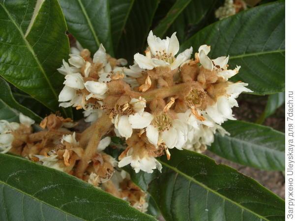 Цветет мушмула японская
