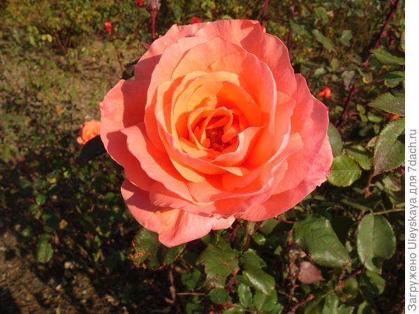 До настоящих холодов спешит отцвести роза сорт Лезгинка