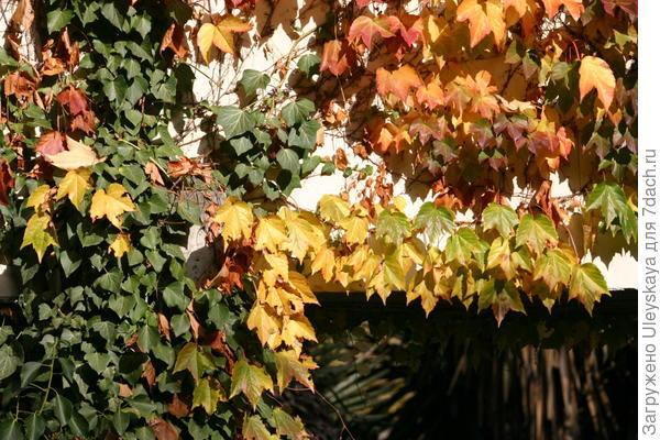 Девичий виноград триостренный Вича с вечнозеленым плющом крымским