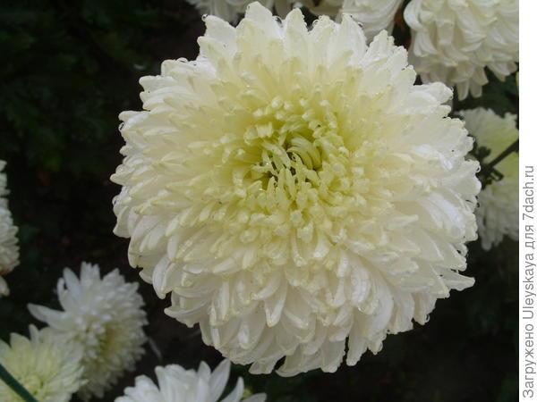 Цветет хризантема сорт Polisadena White. В прошлом году у этого сорта были самые крупные соцветия диаметром до 18-19 см