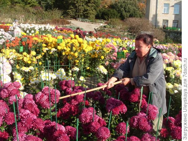 Татьяна Хроминкова стряхивает дождевые капли с хризантем, облегчая и без того крупные тяжелые соцветия