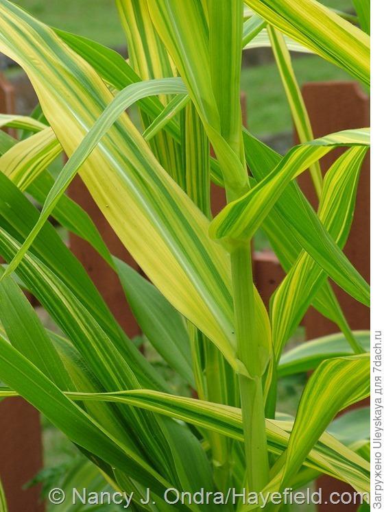 Кукуруза обыкновенная сорт Old Gold