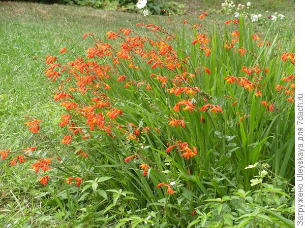 Цветет крокосмия обыкновенная