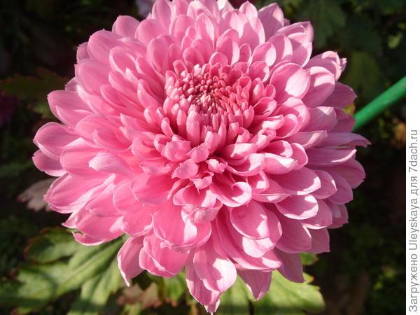 Крупноцветковая хризантема сорт Алёнка