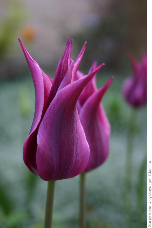 Тюльпан сорт Burgundi