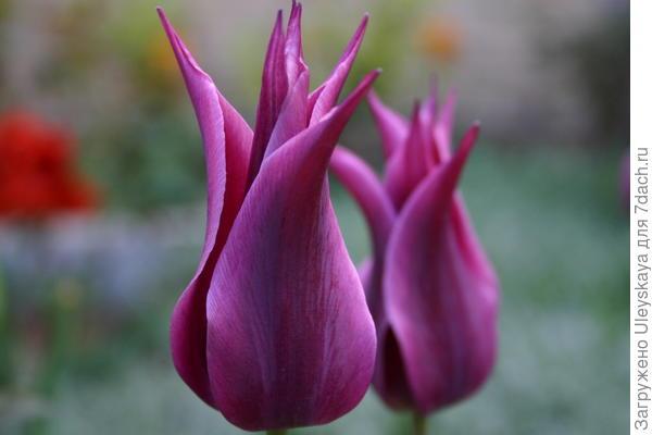 Цветок лилиецветных тюльпанов – шедевр тюльпанной селекции
