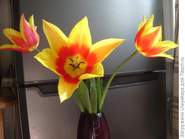 Тюльпан сорт Synaeda King