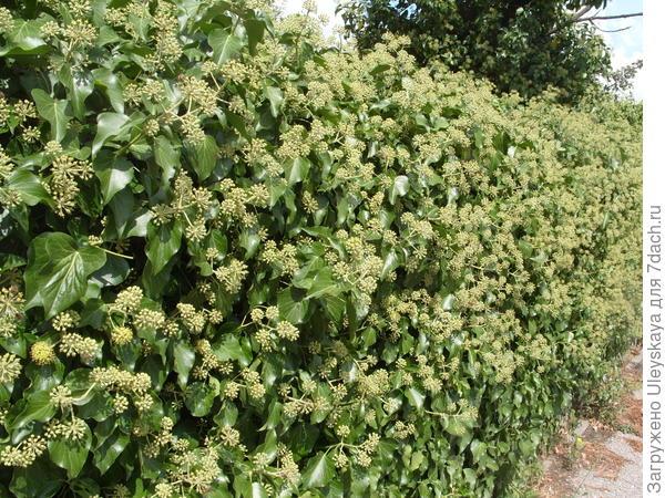 Зеленая вертикаль из плюща обыкновенного в цветении (каменный забор)