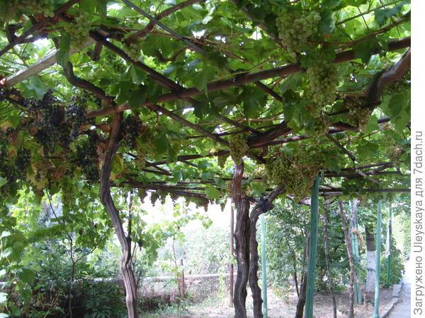 Пергола с виноградом культурным
