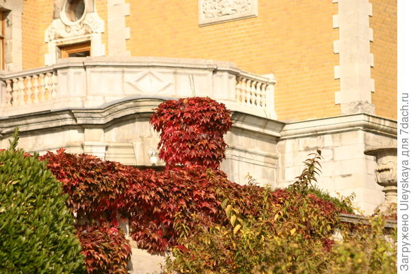 Осенняя вертикаль девичьего винограда триостренного
