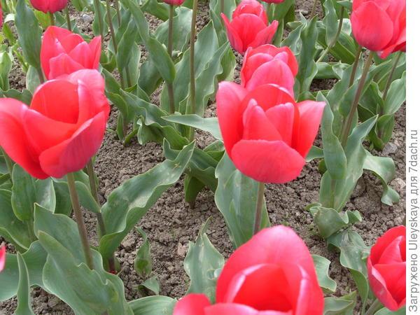 Тюльпан сорт Домик для Дюймовочки