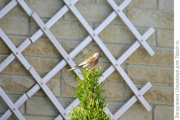 Решетка для лиан, закрепленная на стене