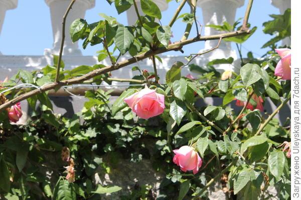 Плетистая роза на стене