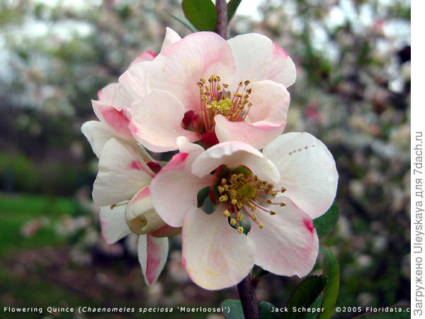 Хеномелес прекрасный сорт Apple Blossom